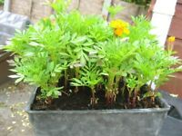 French marigold plants 5 for £1- southbourne . . . . . . . . . . .