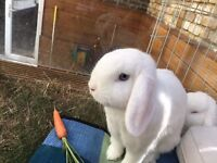 2 Gorgeous White Mini Lop Rabbits with Outdoor Hutch