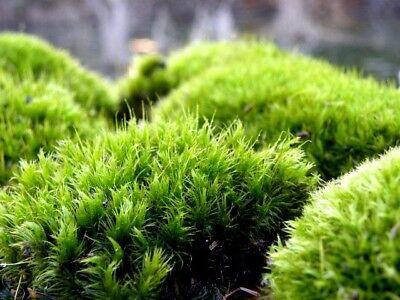 Miniature  Preserved Mood Moss Fairy Garden Dollhouse Terrarium 4 oz MO (Fairy Garden Terrarium)