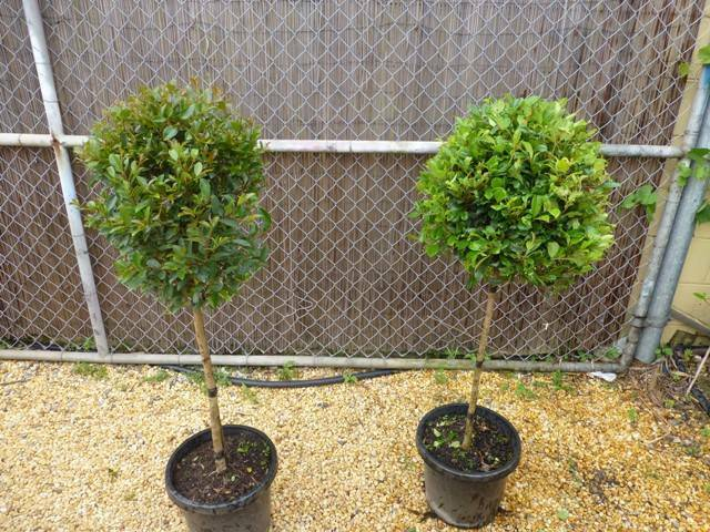 Plants lilly pilly resilience standards 42 50ea plants for Outdoor furniture taren point