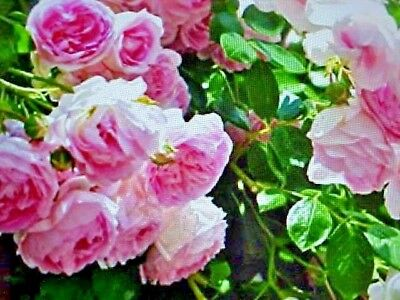 FRAGRANT CLIMBING THORNLESS BABY PINK COLOR ROSE FLOWER SEEDS   USA TEXAS SELLER