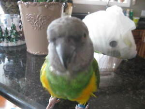 BEAUTIFUL , GREEN  7 YEAR OLD MALE  SENIGAL PARROT.