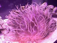 MARINE FISH / LARGE PINK MAGNIFICA LONG TENTACLE ANEMONE
