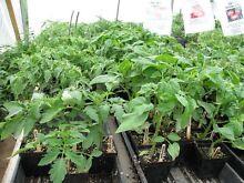 Heirloom Tomato Plants and Goji berry plants Cobdogla Berri Area Preview