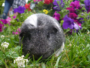 CRESTED MALE GUIRNEA PIG WITH CAGE