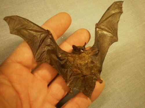 Taxidermy real bat flying  mount Tylonycteris pachypus smallest bat tiny