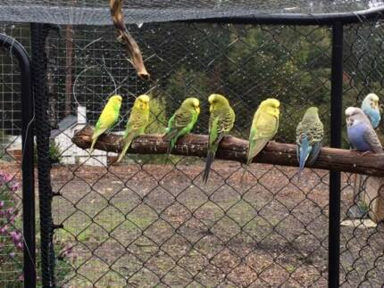 Budgies - Babies and Adult Breeders