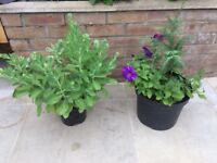 Sedum Ice Plant and Small Conifer tree with Petunias. Collect Fulham