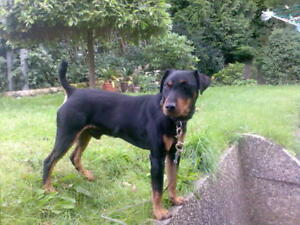 Amazing hunting dogs Jagd Terrier