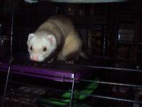 Jeune furet curieux et sa cage