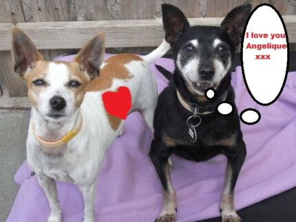 A bonded pair of dogs available at DoggieRescue Ingleside Warringah Area Preview