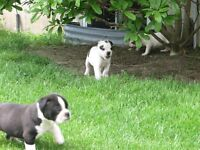 Old English Bulldog Pups-updated pictures and video on Thursday!
