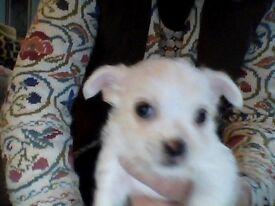 Puppy 7wk old, Jakawawa, boy, white