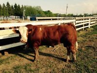 Polled Full Fleck Full Blood Simmental Bull