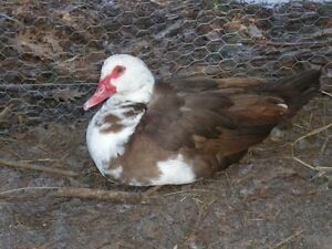 Muscovy Ducks (Breeding Stock)