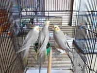 cinamon cockatiels for sale