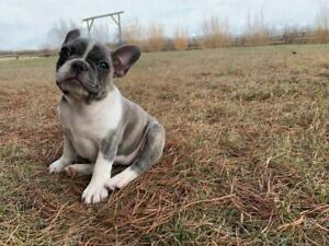French Bulldog Kijiji In Alberta Buy Sell Save With Canadas