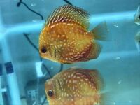 Mixed Discus for Sale
