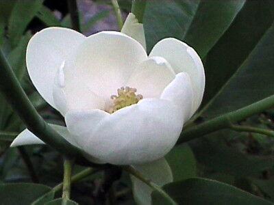 Magnolia Robin
