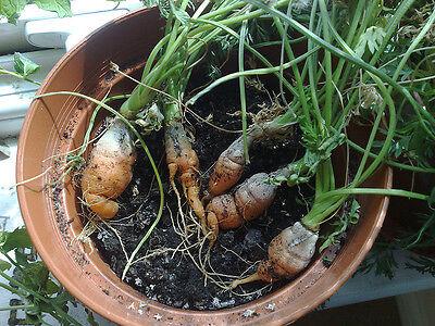 Karotten aus eigenem Anbau sehen zwar nicht wie gemalt aus, sind aber umso leckerer.
