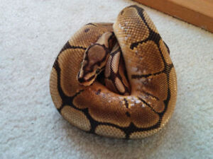 Male Ball Python and Accessories