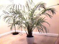 large palm tree plant