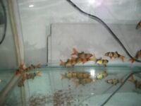 Tropical Fish (Clown Loach)