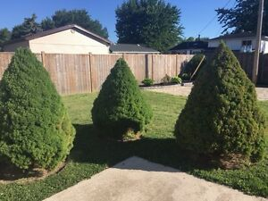 Three large shrubs for sale