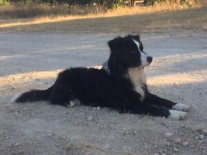 Australian Shepherd x Border Collie