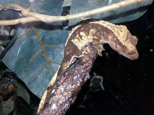 Crested Gecko Breeding Business