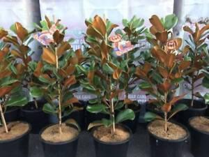 Magnolia Teddy Bear 60cm Tall In 250mm Pot 7999 Plants