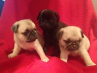 Just 2 Champion Bloodline pug puppies remaining