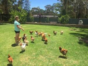 Chickens - from small to large - various breeds Medowie Port Stephens Area Preview