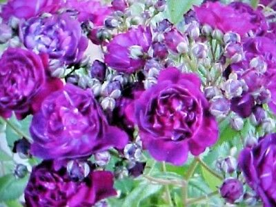 FRAGRANT CLIMBING THORNLESS BABY PURPLE COLOR ROSE FLOWER SEEDS USA TEXAS SELLER