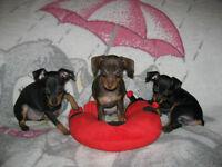 PINSCHER 3 chiots prêts à partir