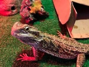 Bearded Dragon and Enclosure Moana Morphett Vale Area Preview
