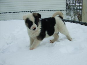 One Male and One Female American Akita Puppy
