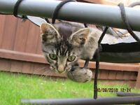 Kitten - 14 weeks old , Beautiful markings, Extremely affectionate