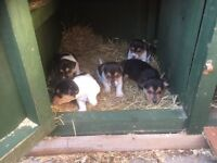 Jack Russell pups for sale.