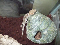 Adult male Pictus gecko for sale