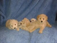 toy x miniature poodle puppies