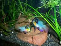 2 German blue ram