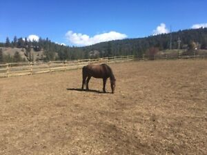 Registered Morgan Horse for sale
