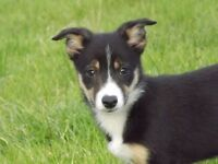 Border collie dog pup