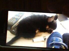 chihuahua TINY. male