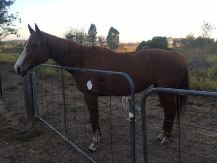 Chestnut Mare for sale