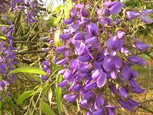 5 graines de glycine en arbre bolusanthus speciosus g864 tree wisteria seed semi ebay - Graine de glycine ...