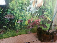 frontosa fish for sale