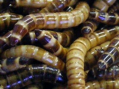 1000 Superworms 4 Sizes $12.00