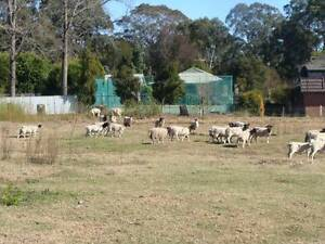 dorper ewes  all pregnant for sale Cobbitty Camden Area Preview
